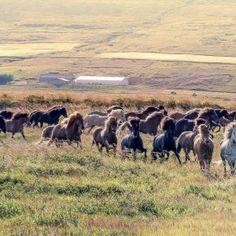 Icelandic horses on horse trip.