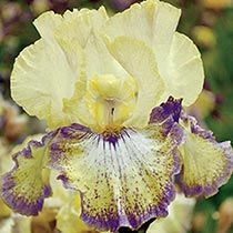Ominous Stranger Tall Bearded Iris