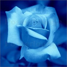 Google Image Result for http://4.bp.blogspot.com/-LSvK2XoogBM/T0d9GA4GXDI/AAAAAAAABQI/Pq0kAKFbBCk/s1600/kattobello-blue-rose-bluete-blume-26146.jpg