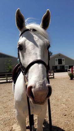 Looks a lot like Taz Most Beautiful Horses, Pretty Horses, Horse Love, Horse Girl, Animals Beautiful, Dressage Horses, Horse Tack, Horse Photos, Horse Pictures