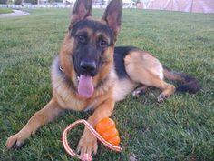 What a handsome #German Shepherd Dog