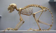 Animal Skeleton Cat Anatomy, Animal Anatomy, Animal Skeletons, Skeleton Bones, Animal Bones, Anatomy Reference, Taxidermy, Fossils, Skulls