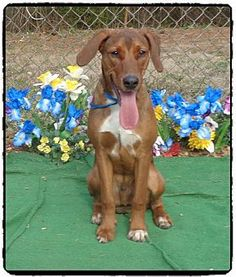 Marietta, GA - Redbone Coonhound Mix. Meet REX, a dog for adoption. http://www.adoptapet.com/pet/12604356-marietta-georgia-redbone-coonhound-mix