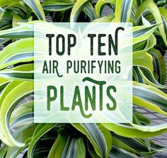 Top 10 Plants for Removing Toxins in the Air:   Areca Palm Raphis Palm Bamboo Palm Rubber Plant Dracaena English Ivy Pothos  Ficus Alii Boston Fern Peace Lily   Do your lungs a favor by bringing one of these guys into your home on Houseplant Appreciation Day!
