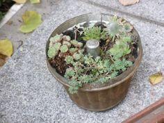 Gugelhupfform bepflanzt mit Steinwurz