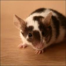 pet mouse cute - Google Search