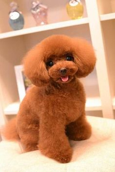 Toy Poodle Puppies, Poodle Mix, Toy Poodles, Animals And Pets, Cute Animals, Poodle Haircut, Some Amazing Facts, Poodle Cuts, Dog Grooming