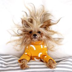 Instagram can't get enough of Willie, a Yorkshire Terrier, who is putting beauty bloggers to shame with her tousled tresses.