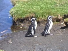 Puerto Montt Chile Tour - Penguins excursion at National Reserve of Chiloé Island, Patagonia - Chile