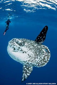 Giant sunfish and free diver in Yap Micronesia, blue water diving - http://www.mantaray.com/