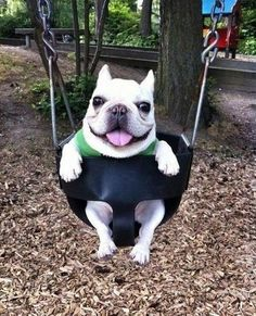 This dog is very happy to be swinging in this swing.