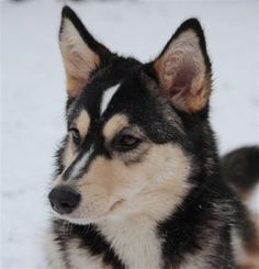 Askha Herding Dogs, Finland, Reindeer, Husky, Animals, Going Gray, Animales, Animaux, Animais