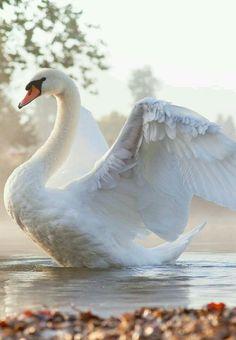 Cisne vulgar o cisne blanco (Cygnus olor). Es propio del Hemisferio Norte. Se le distingue de los otros cisnes de color blanco por tener el pico de color amarillo anaranjado a rojo. Los otros lo tienen negro y amarillo. También es el único cisne blanco al que le crece unacarúncula negra sobre la base del pico.