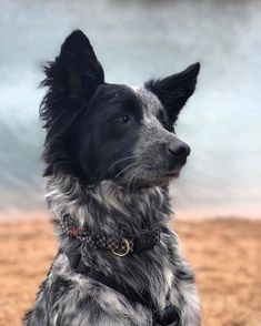Astounding Border Collie Dog Tips Ideas Cute Puppies, Cute Dogs, Dogs And Puppies, Doggies, West Highland Terrier, Shetland Sheepdog, Herding Dogs, Australian Shepherds, Scottish Terrier
