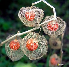 Physalis alkekengi, better known as Chinese lanterns, are beautifully delicate casings protecting their precious berries. Chinese Lanterns Plant, Deco Nature, Poisonous Plants, Wtf Fun Facts, Random Facts, Seed Pods, Natural Forms, Ikebana, Garden Plants