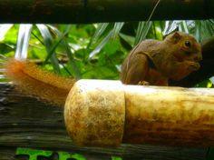 Squirrel #singaporezoo