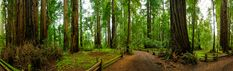 Henry Cowell Redwoods State Park | Travel | Vacation Ideas | Road Trip | Places to Visit | Felton | CA | Nature Reserve | Forest | Hiking Area