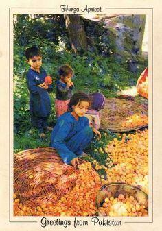 Pakistan   Beautiful Postcard, Apricot picking in Hunza.