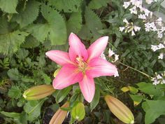 Pink Asiatic Lily