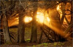 Don Smith Photography   -    Something about sun rays beaming through a forest that always grabs my attention. I captured this scene at Big Sur's Pfeiffer Beach. Mist was forming in a grove of Monterey Cypress trees and was catching the warm light of an early evening setting sun making for magical light!