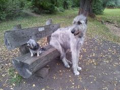 Problem number one when you're an Irish wolfhound : finding a friend your size so you don't have to look down at him when playing