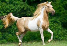 Palomino Paint Horse | Arabian Paint Horse femelle ; Give Up.