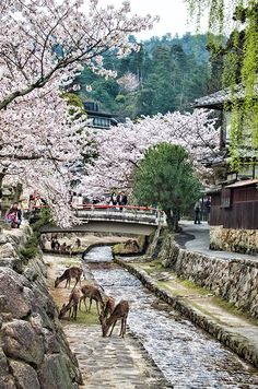 Sakura and deer on Miyajima Island, Japan.