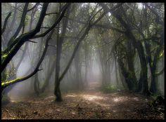 Bosque Canario by Manolo Marrero, via Flickr. http://flickrhivemind.net/Tags/laurisilva
