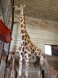 Twin baby giraffes — one male and one female — were born at the Natural Bridge Zoo early Friday morning.