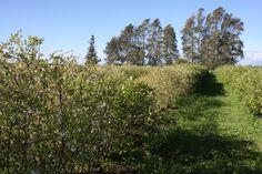 Blueberries field in Oct 2014 at Lavender Backyard Garden, Hamilton, New Zealand
