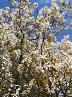 May 15, 2019. Serviceberry May, Snow, Outdoor, Outdoors, Outdoor Living, Garden, Eyes