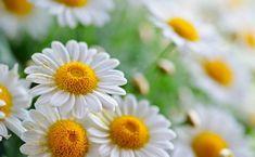 white daisy flower Best Flower Wallpaper, Daisy Wallpaper, Beautiful Flowers Wallpapers, Hd Wallpaper, Wallpaper Pictures, Types Of White Flowers, Different Types Of Flowers, Daisy Background, Mellow Yellow