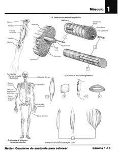 Bolsa subacromial Wikipedia, la enciclopedia libre