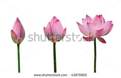 Lotus blooming stages