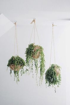 Indoor plants with bead-like leaves, string of pearls are usually planted in hanging baskets. The string of pearls indoor plants grows well in bright light. Cactus E Suculentas, Decoration Plante, Pot Plante, String Of Pearls, Cacti And Succulents, Hanging Succulents, Succulent Planters, Succulents Garden, Hanging Planters