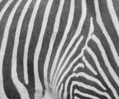 Zebra print design is another zebra design created for impressive zebra stuff color patterns zebras animal prints tattoo ideas colours stripes fur colour pattern toneelgroepblik Images