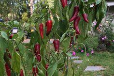 10373955_703578736400940_551028120830588221_n Organic Gardening, Stuffed Peppers, Vegetables, Stuffed Pepper, Vegetable Recipes, Organic Farming, Stuffed Sweet Peppers, Veggies