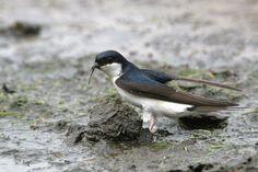 Oproep Huiszwaluwteller voor Oostwoud en Midwoud