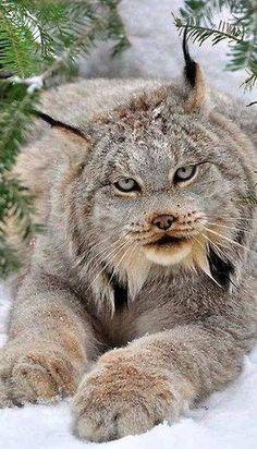 Amazing, LYNX CAT.