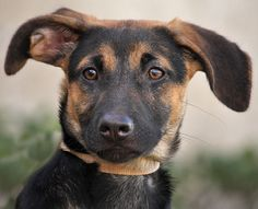 Nala von Nolan is an adorable 3 month old German Shepherd mix. Westside German Shepherd Rescue of Los Angeles German Shepherd Rescue, German Shepherds, Animal Shelter, Animal Rescue, Doggies, Dogs And Puppies, Kinds Of Dogs, Beautiful Soul, Exotic Pets