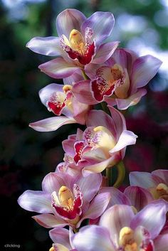 Pink Colorful Orchid