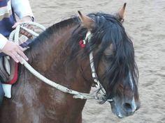 Caballo chileno de pura raza (chilean horse purebred )Peleco RONALDO