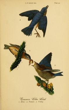 Common Blue Bird. Report on the birds of Pennsylvania. With special reference to the food-habits, based on over three thousand stomach examinations Harrisburg,E.K. Meyers, State Printer,1888. Biodiversitylibrary. Biodivlibrary. BHL. Biodiversity Heritage Library