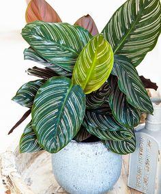 Calathea ornata Rosea lineata | Plants from Bakker Spalding Garden Company