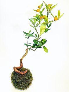 苔玉(キンズ) - tito mossball, BONSAI