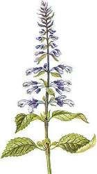 Salvia divinorum botanical drawing
