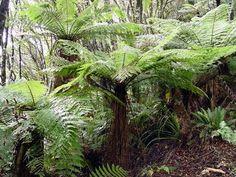 Cyathea smithii  Also known as:  Whe  Soft Tree Fern  Katote