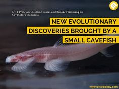 "A small cavefish was discovered to show ""extra fish-like"" movements such as walking on land and climbing waterfalls which can bring new insights on the evolution of life. The strange fish, which measures at only two inches and is found to be blind, is  said to be endemic in the caves found among the Tham Susa and Tham Maelana karst cave formation in the northern part of Thailand."