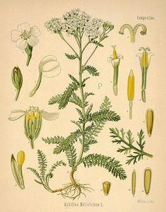 Yarrow- Native Oregon flower