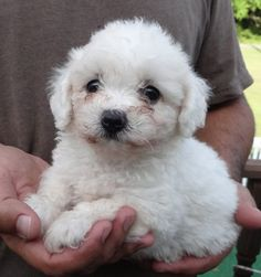 Check out Pierre's profile on AllPaws.com and help him get adopted! Pierre is an adorable Dog that needs a new home. https://www.allpaws.com/adopt-a-dog/bichon-frise/4844699?social_ref=pinterest